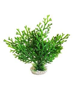 Sydeco microsorum plant