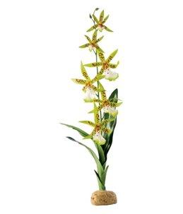 Ex spinnen orchidee